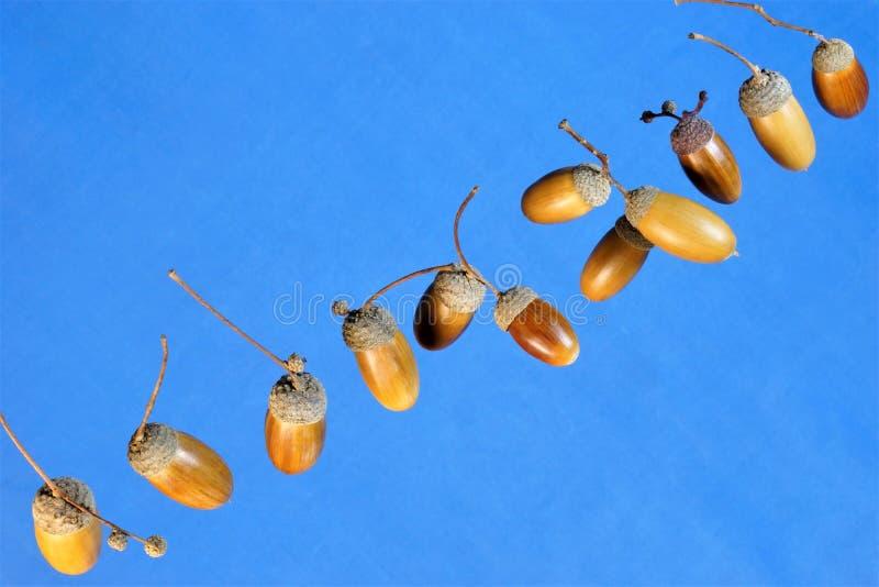 La bellota es la fruta del roble poderoso contra el cielo azul, la familia de haya fotografía de archivo