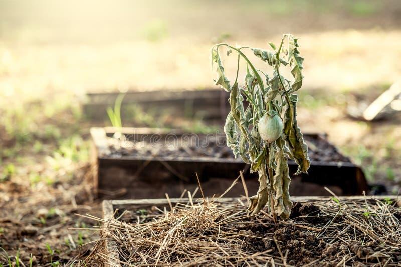 La berenjena en árbol muerto en el huerto fotos de archivo