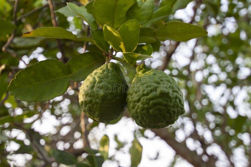 La bergamota fresca en el árbol es una verdura y la hierba de Tailandia utilizó como ingrediente en cocinar y medicina herbaria imagen de archivo