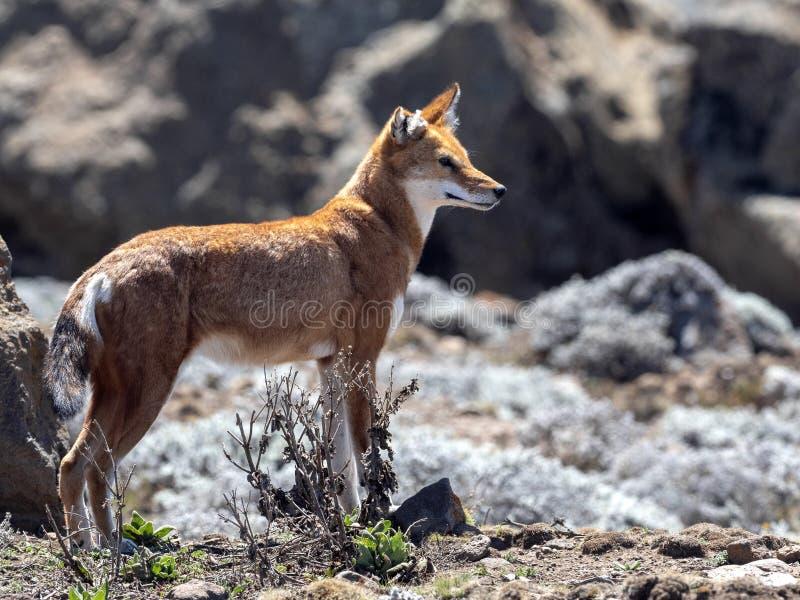 La bestia canina más rara, lobo etíope, simensis del Canis, meseta de Sanetti, parque nacional de la bala, Etiopía fotografía de archivo