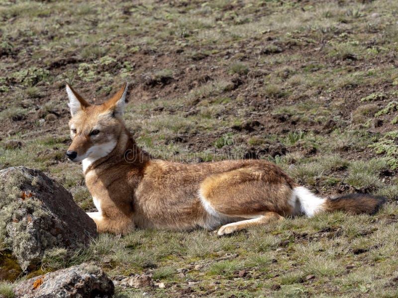 La bestia canina más rara, lobo etíope, simensis del Canis, meseta de Sanetti, parque nacional de la bala, Etiopía fotos de archivo