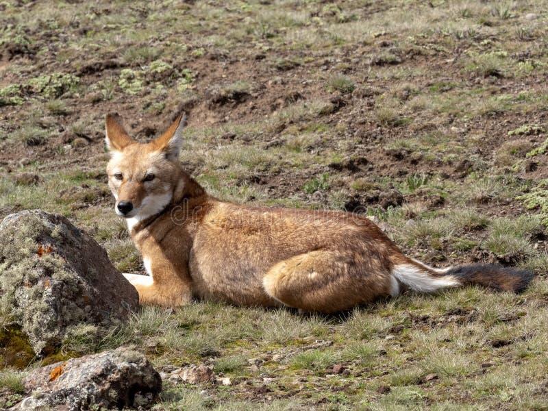 La bestia canina más rara, lobo etíope, simensis del Canis, meseta de Sanetti, parque nacional de la bala, Etiopía imágenes de archivo libres de regalías