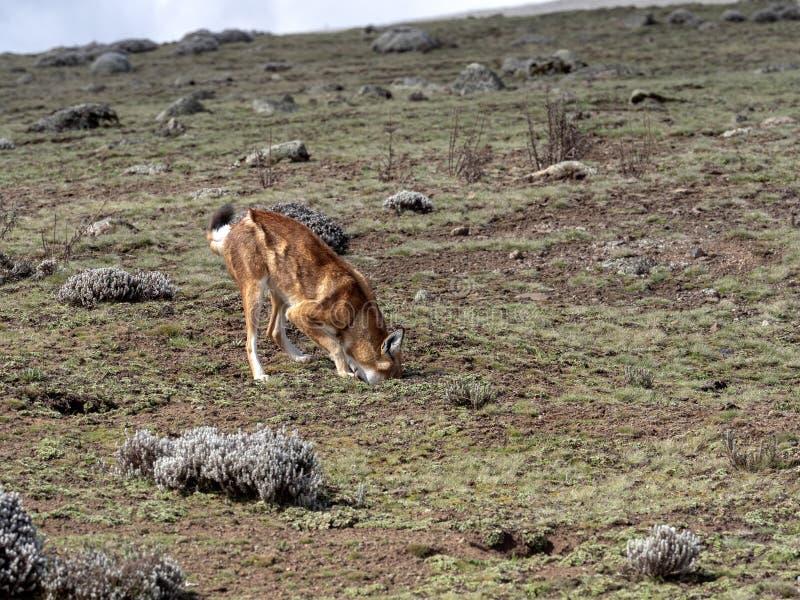 La bestia canina más rara, lobo etíope, simensis del Canis, Topo-rata africana de búsqueda arrogante, meseta de Sanetti, parque n foto de archivo