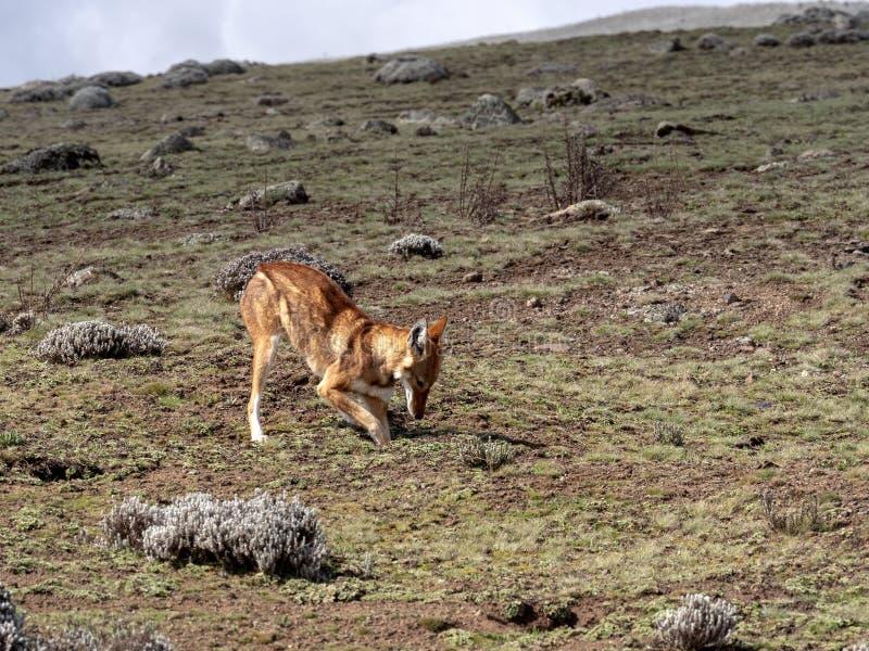 La bestia canina más rara, lobo etíope, simensis del Canis, Topo-rata africana de búsqueda arrogante, meseta de Sanetti, parque n imagen de archivo libre de regalías