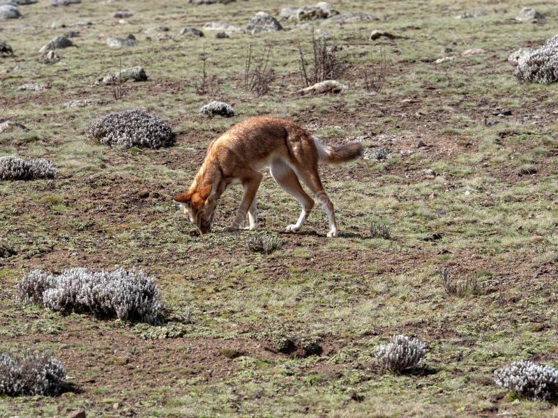 La bestia canina más rara, lobo etíope, simensis del Canis, Topo-rata africana de búsqueda arrogante, meseta de Sanetti, parque n imágenes de archivo libres de regalías