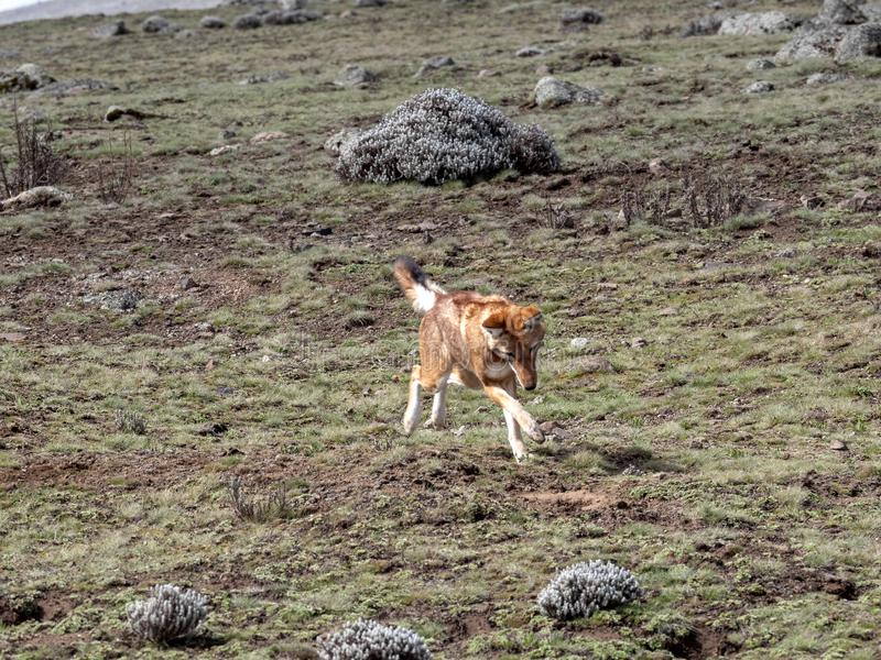 La bestia canina más rara, lobo etíope, simensis del Canis, Topo-rata africana de búsqueda arrogante, meseta de Sanetti, parque n fotografía de archivo libre de regalías