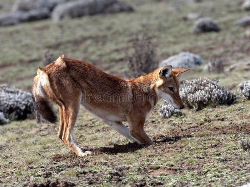 La bestia canina más rara, lobo etíope, simensis del Canis, Topo-rata africana de búsqueda arrogante, meseta de Sanetti, parque n fotografía de archivo