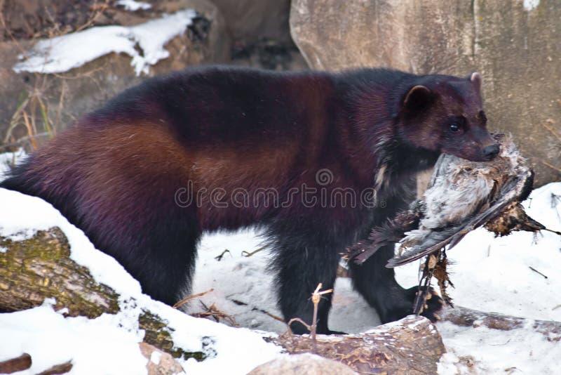 La bestia di Wolverine nella neve, trascina la preda, è un corvo morto immagine stock
