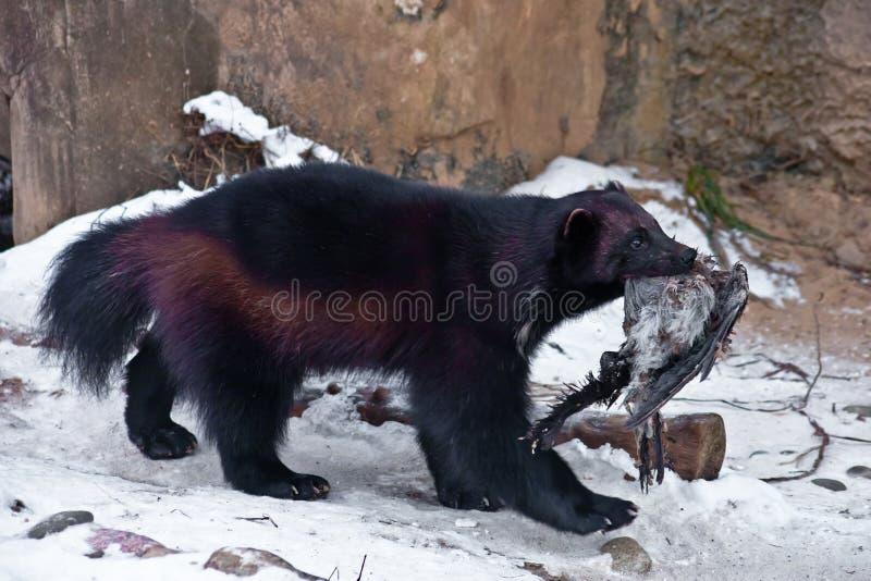 La bestia di Wolverine nella neve, trascina la preda, è un corvo morto fotografia stock