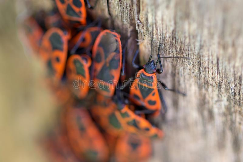 La bicho de fuego, el áptero Pyrhocoris, es un insecto común de la familia fácilmente reconocible por su llamativa coloración roj imagen de archivo libre de regalías