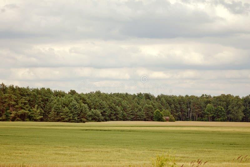 La Bielorussia, il campo e abetaia su fondo fotografia stock