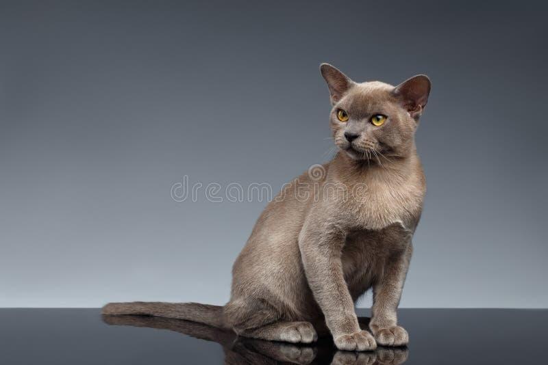 La Birmanie Cat Sits et recherche sur le gris photo libre de droits