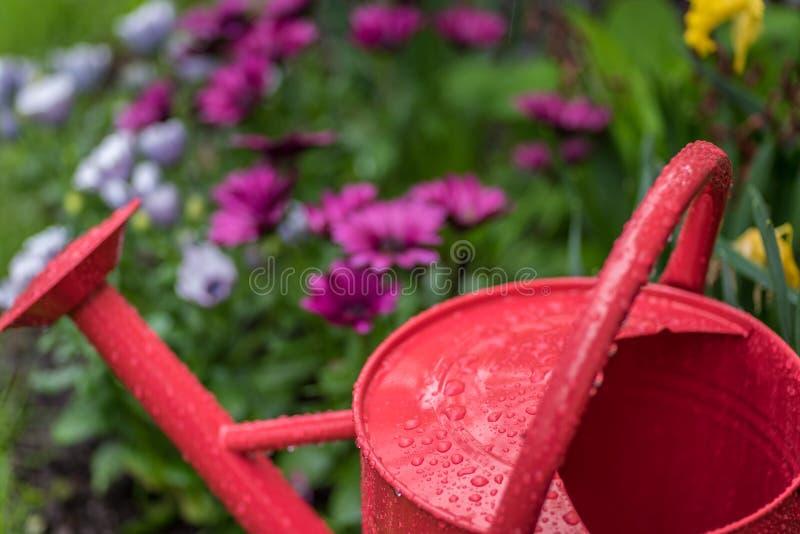 La boîte d'arrosage rouge avec les baisses de l'eau et le ressort mou de foyer fleurit photographie stock