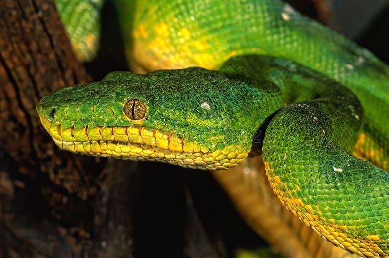 La boa de la serpiente fotografía de archivo