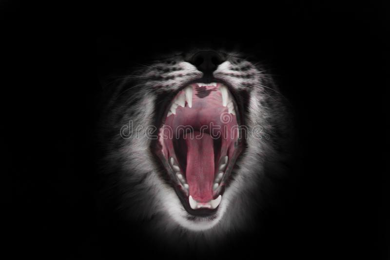 La boca roja depredadora del gato abierto de par en par hambriento y voraz en un fondo negro imagen de archivo