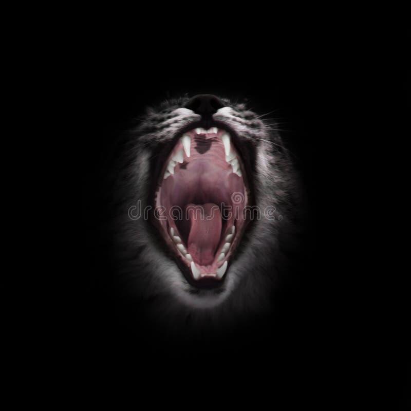 La boca roja depredadora del gato abierto de par en par hambriento y voraz en un fondo negro fotos de archivo