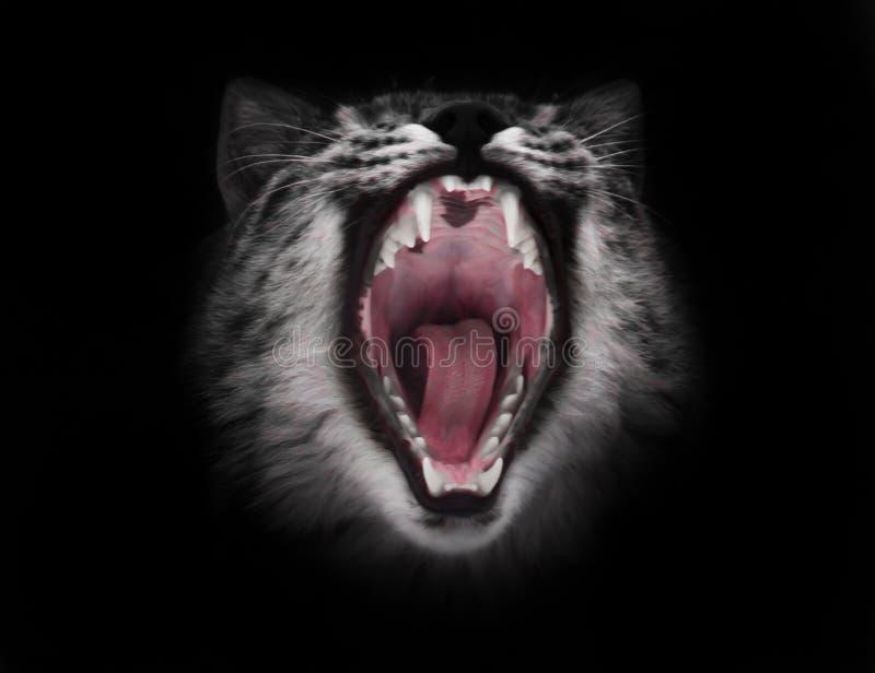 La boca roja depredadora del gato abierto de par en par hambriento y voraz en un fondo negro fotografía de archivo libre de regalías