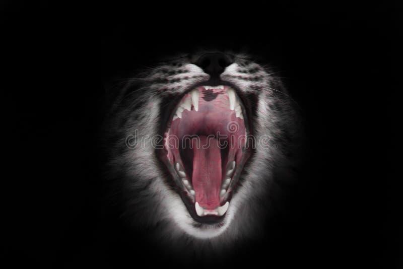 La boca roja depredadora del gato abierto de par en par hambriento y voraz en un fondo negro foto de archivo