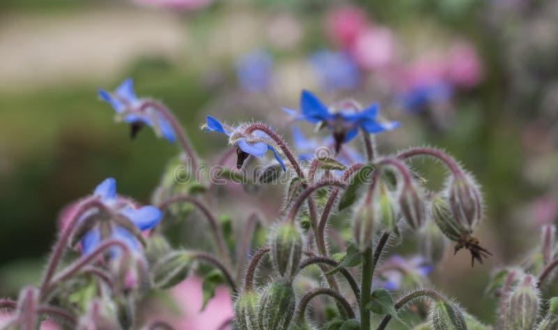 La borraja es officinalis de la planta de un Borago de la hierba en luz del sol fotos de archivo libres de regalías