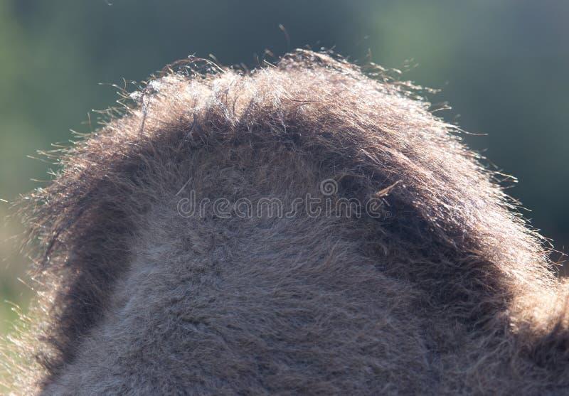 La bosse d'un chameau images stock