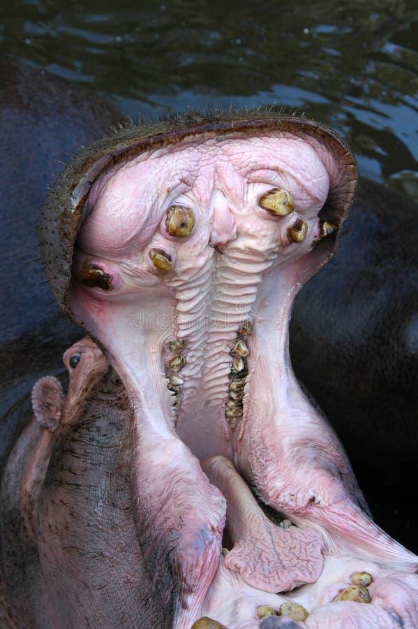 La bouche de l'hippopotame photographie stock libre de droits