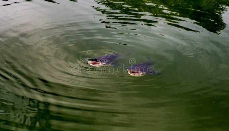 La bouche de poissons s'ouvre et se ferme dans un cercle avec beaucoup de visages de l'eau photo libre de droits