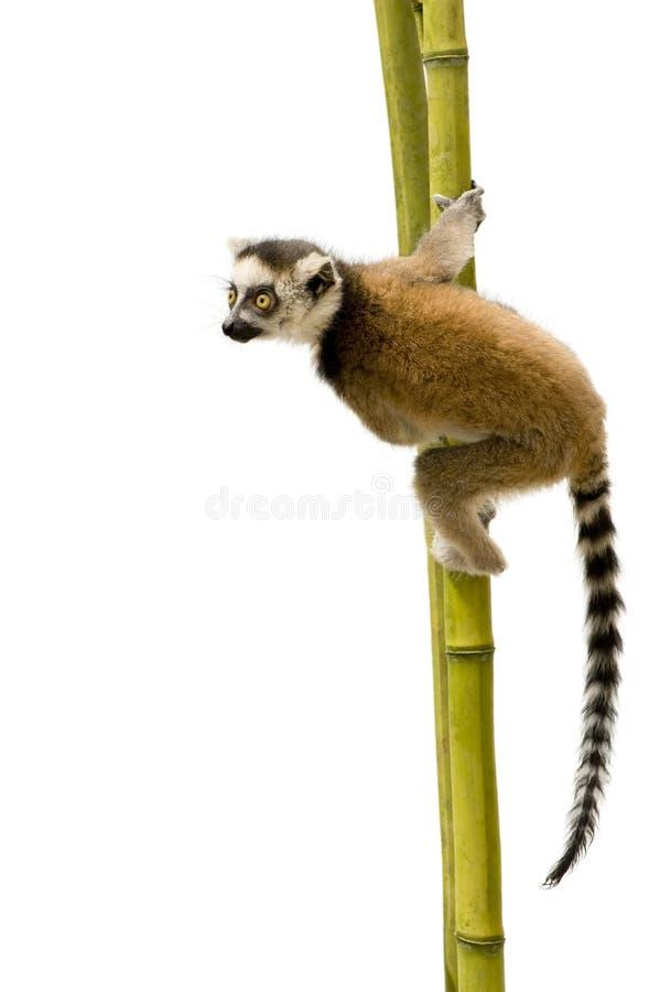 la boucle de lemur du catta 6 a suivi des semaines image stock