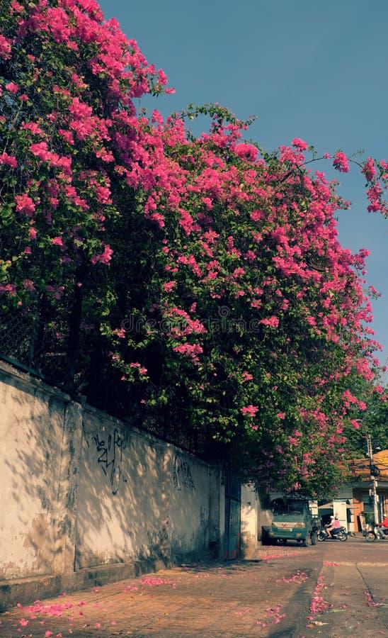 La bouganvillée fleurit le treillis photographie stock