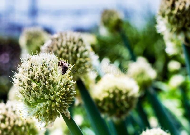 La boule blanche aiment la fleur avec l'abeille de miel là-dessus photographie stock libre de droits
