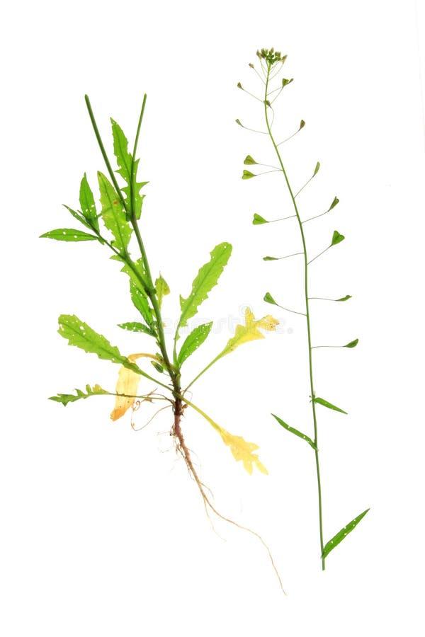 La bourse du berger (Capsella Brousse-pastoris) photos stock