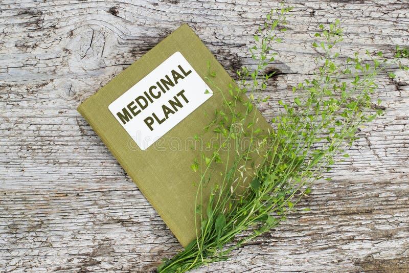 La bourse du berger (Capsella Brousse-pastoris) et le medicin d'annuaire image libre de droits