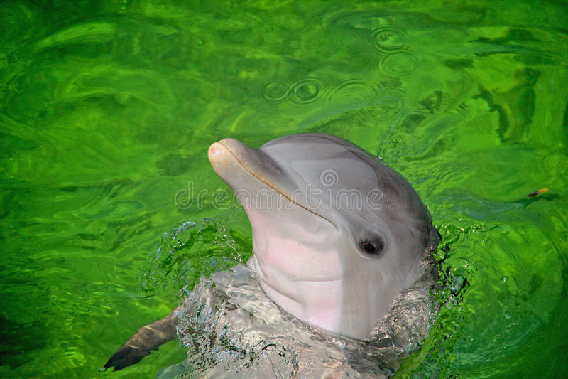 La bouteille a flairé le dauphin image libre de droits