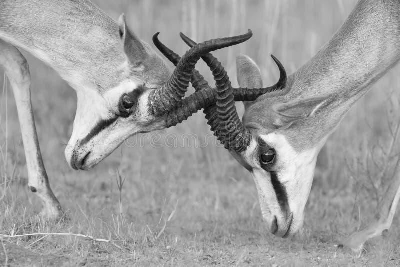 La boxe d'entraînement de mâles de springbok pour la dominance dans le conversio artistique images stock