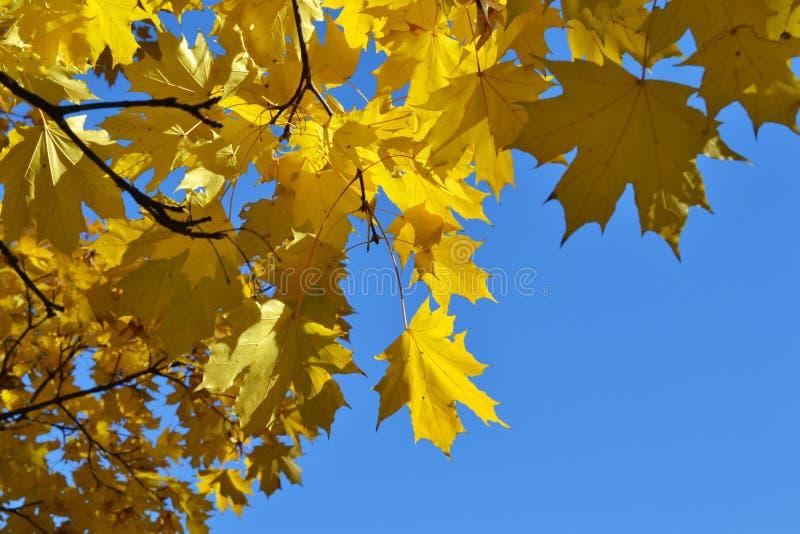 La branche d'érable avec le jaune part contre un ciel clair photos stock
