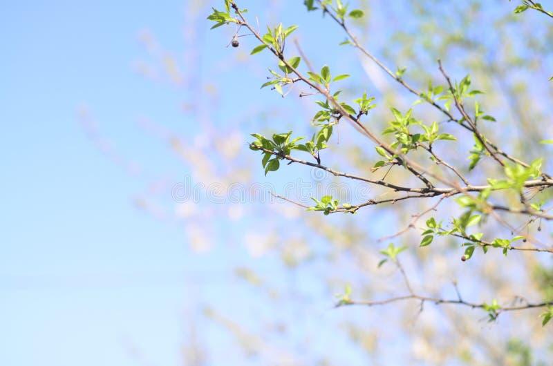 La branche d'arbre avec le vert frais part contre le ciel bleu photos libres de droits