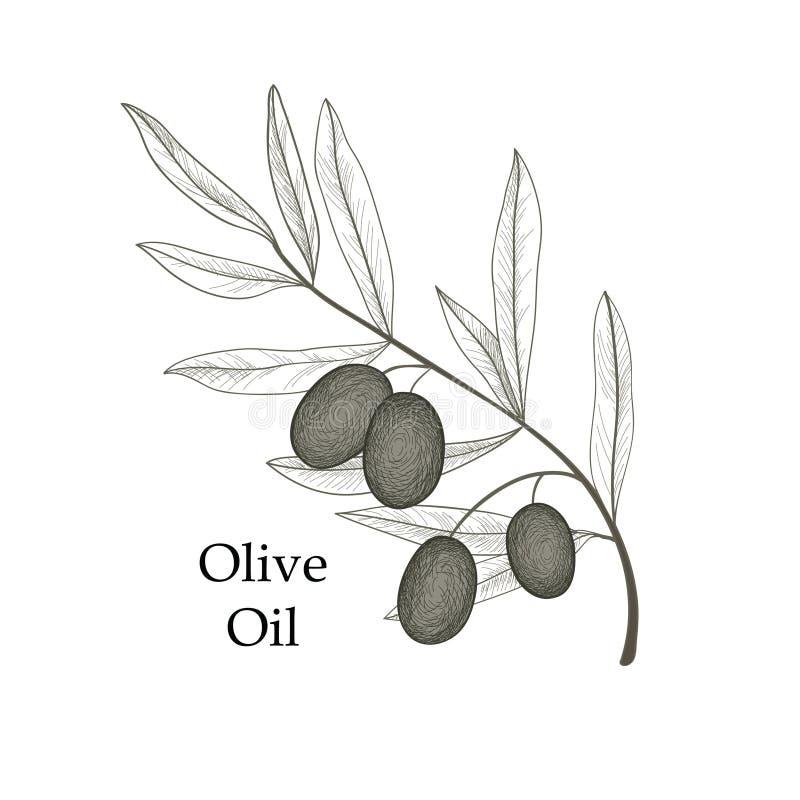 La branche d'olivier avec des olives a isolé le croquis sur le fond blanc illustration de vecteur