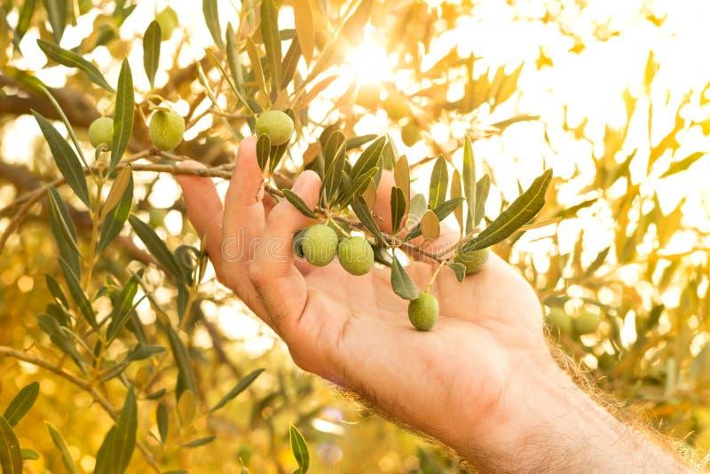 La branche d'olivier dans la main du ` s d'agriculteur, clôturent - l'agriculture image libre de droits