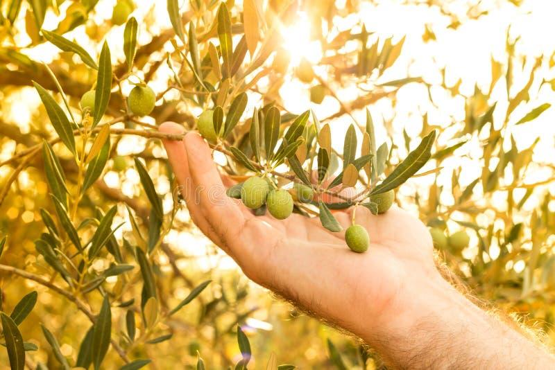 La branche d'olivier dans la main du ` s d'agriculteur, clôturent - l'agriculture photographie stock libre de droits