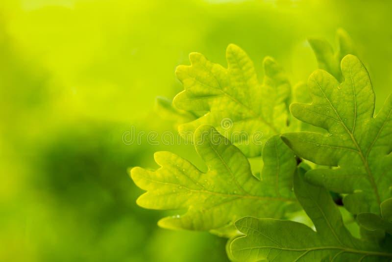 La branche de chêne au printemps sur un fond vert dans la forêt détendent Foyer sélectif mou, fin de chêne, modifiant la tonalité photo stock