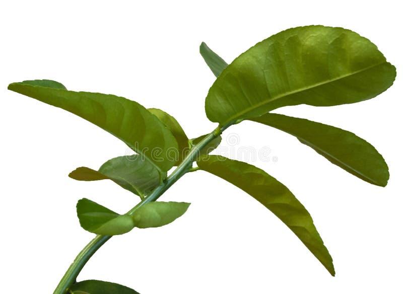 La branche de citron sur un fond blanc photographie stock libre de droits