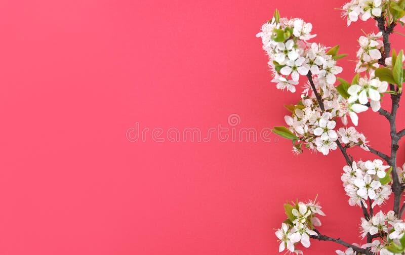 La branche de floraison de la cerise, ressort fleurit sur le fond rouge photos stock