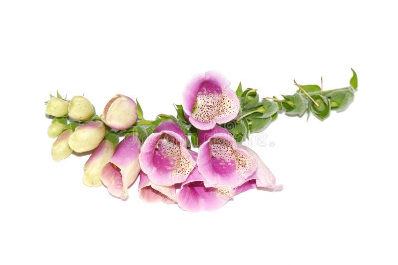 La branche de Foxgove fleurit le rose de purpurea de digitale toxique photo libre de droits