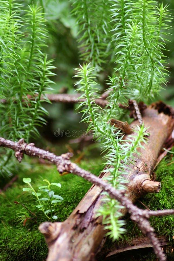 La branche de l'arbre se trouve sur le macro de mousse image libre de droits