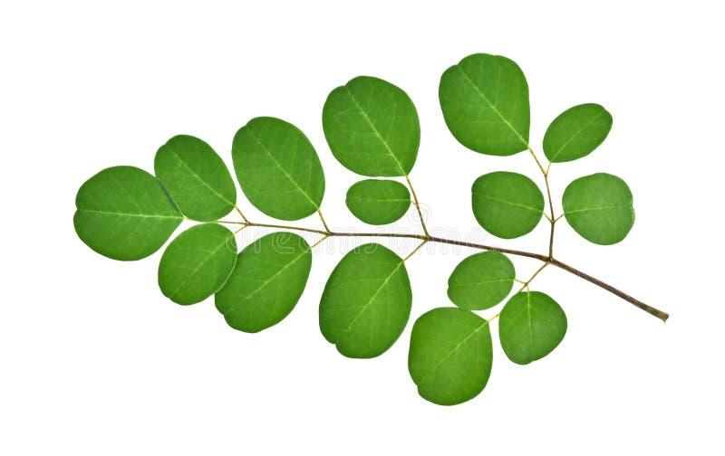 La branche de moringa verte part, les herbes tropicales d'isolement sur le blanc image stock