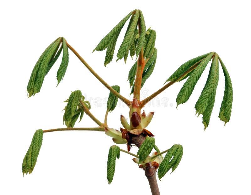 La branche de ressort d'avril avec les feuilles fraîches vertes de l'arbre de châtaigne a isolé photo stock