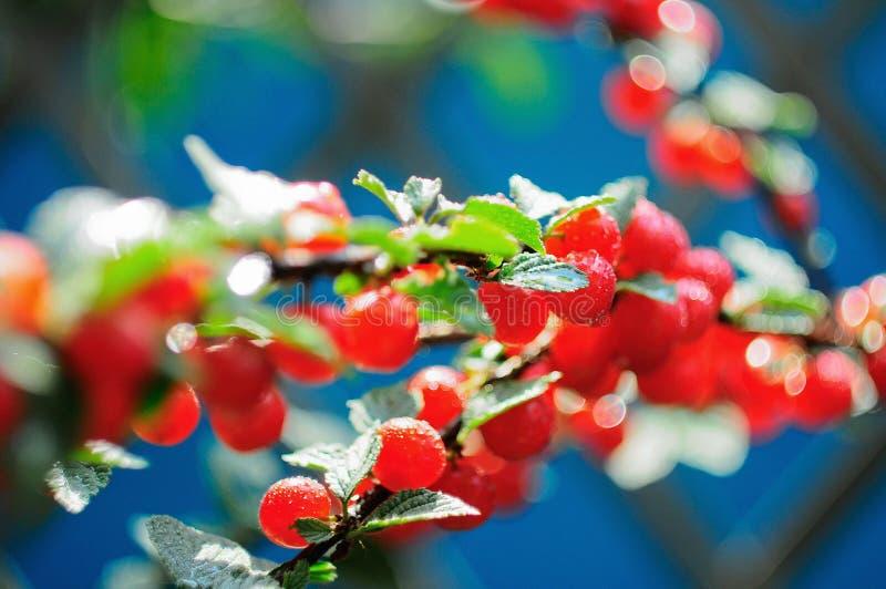 La branche a senti l'écarlate de cerise de jardin avec des baisses de rosée images stock