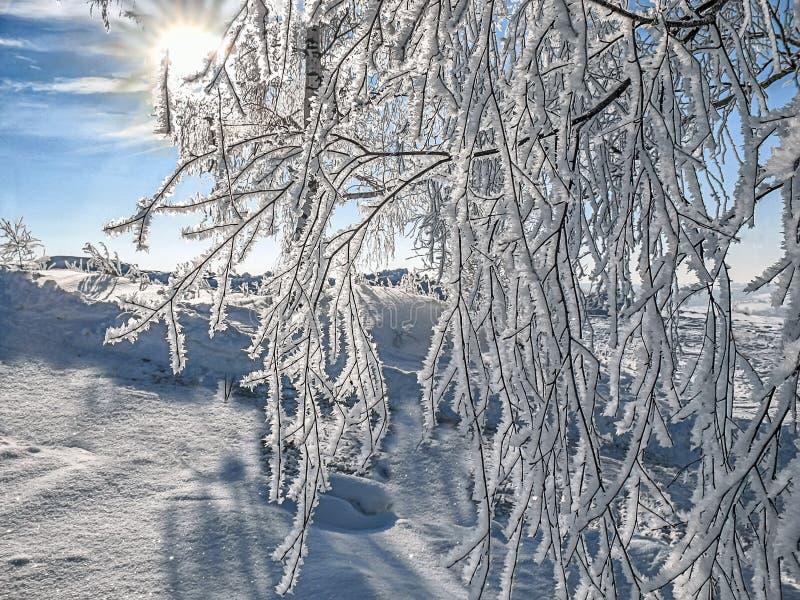 La brina ha riguardato i rami dell'albero di betulla illuminati entro la mattina immagini stock