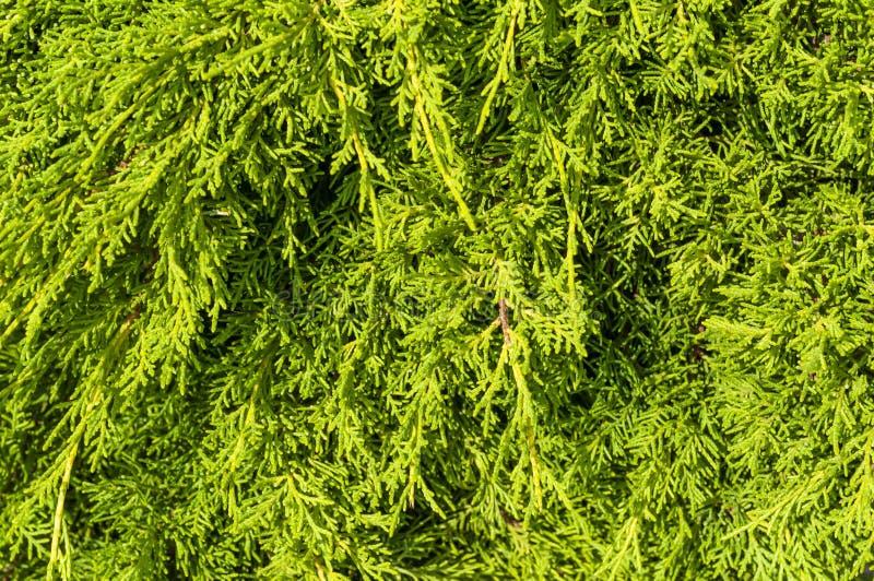 La brindille de Thuja, occidentalis de Thuja est un arbre conif?re ? feuilles persistantes Orientalis de Platycladus, également c photo libre de droits