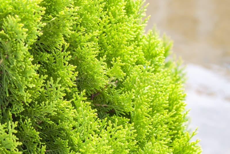 La brindille de Thuja, occidentalis de Thuja est un arbre conif?re ? feuilles persistantes Orientalis de Platycladus, également c image libre de droits