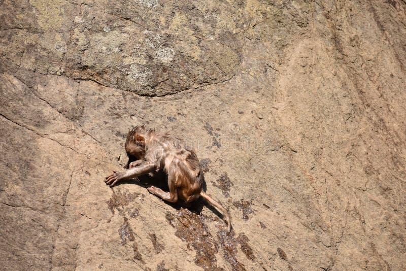 La broche impresionante del mono se aferra en piedra recta después de bañar en piscina de agua foto de archivo libre de regalías